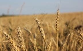 field, sun, spica, golden