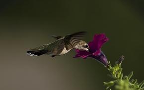 макро, птица, колибри, цветок, петуния