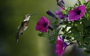 птица, колибри, цветы, петуния, макро