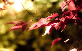 листья, красные, цвет, колор, дерево, осень, зелень