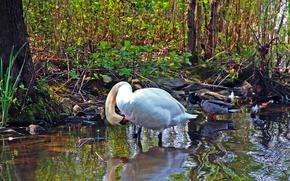 Aves, Color blanco, cisne, pato, pequeo ro, bosque, vegetacin, agua, reflexin, verduras