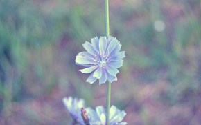 chicory, Blue, tender, macro, beautiful, summer