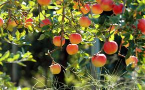 Плоды, фрукты, сад, яблоня