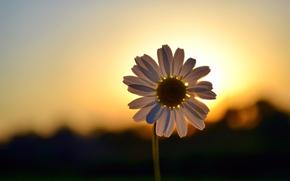 dawn, sunset, chamomile, Petals, HALO, macro, shadow, Silhouettes