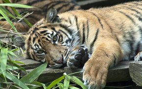 хищник, тигрёнок, Суматранский тигр
