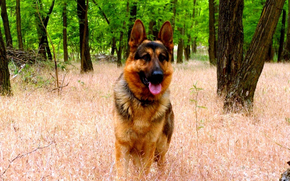 The German, shepherd, forest, grass, snout, jaws, ears, language