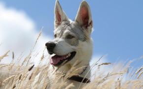 собака, лето, небо, трава, фон
