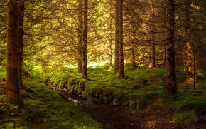 Art, forest, thicket, Trees, moss, creek, water, fir-wood