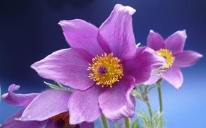 Rckenschmerzen, Kchenschelle-Blume, Anemone, Makro