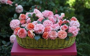 玫瑰, 篮子, 芽
