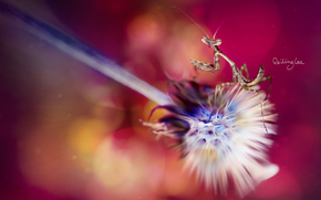 macro, fundo, flor, mantis