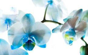 орхидеи, фаленопсис, голубые, цветы