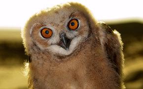 Owl, owlet, bird, chick