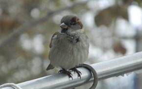 animals, bird, sparrow, Chick, chikushka, feathers, wings, beak, puska, pipe, background, wallpaper, full screen