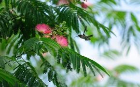 колибри, цветы, ленкоранская акация, птица
