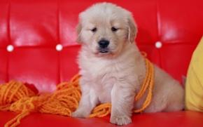 Собака, щенок, диван, красный, нитки, пряжа, морда  сидит