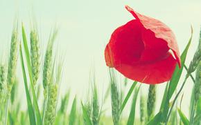 macro, flower, poppy, red, field, wheat, ears, sky