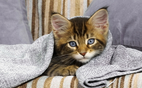 kitten, view, blanket