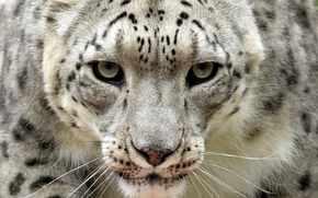 leopardo delle nevi, oncia, vista