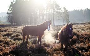 Pferde, Feld, Morgen