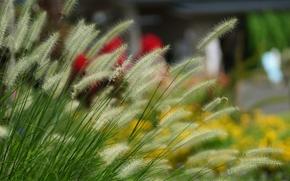 трава, колоски, пушистые, размытость
