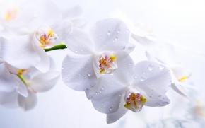 орхидеи, фаленопсис, цветы, белые, стебель, лепестки