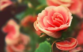 Flores, rosa, Ptalos, gotas