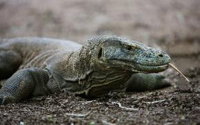 рептилия, ящерица, комодский дракон, язык, лапы, глаза