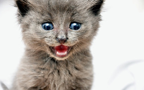 kitten, gray, blue-eyed, shouts