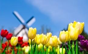 Tulipanes, molino, amarillo, cielo