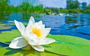 giglio di acqua, loto, giglio di acqua, bianco, fiore, Petali, stagno, stagno