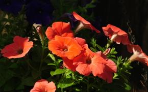 цветы, петунии, природа