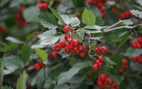 Berries, autumn, summer, foliage