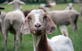 羊, 性质, 夏天