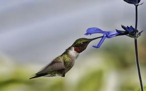 птица, колибри, полет, цветок, макро