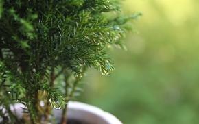 макро, деревце, растение, капли, роса, горшок