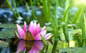giglio di acqua, fiore, giglio di acqua, loto, rosa, acqua, stagno, fogliame, sole, raggi