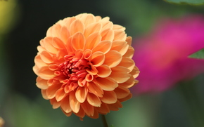 цветок, макро, георгин карликовый