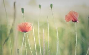 Flowers, poppy, stems, rozmytost