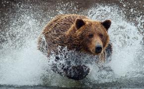 Bear, bear, wet, drops, spray, water