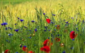 Papaveri, spighette, erba, fiori, Macro, verdura, campo