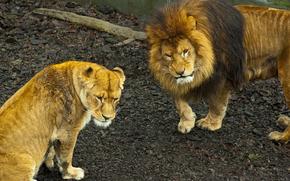 lion, lioness, pride