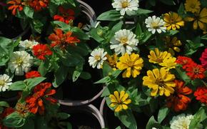 цветы, красные, желтые, белые, листья, горшок