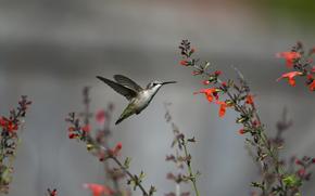 птица, колибри, полет, цветы, красные