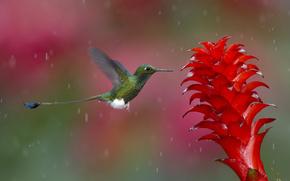 колибри, птица, цветок, природа, момент, фото, цвета, коралловый, зеленый, белый, капли, воды, дождь