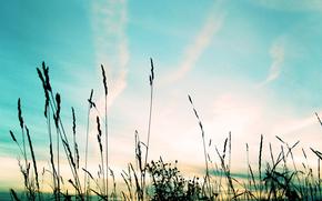 небо, колосья, вечер, облака, перистые, закат, небо