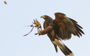 bird, eagle, flight, training