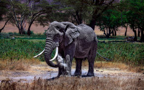 слон, африканский, Кения