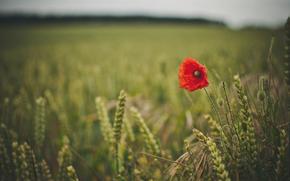 papavero, campo, spighette, erba, natura
