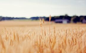 spighette, grano, oro, campo, sfocatura